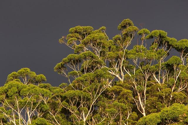subtropický strom