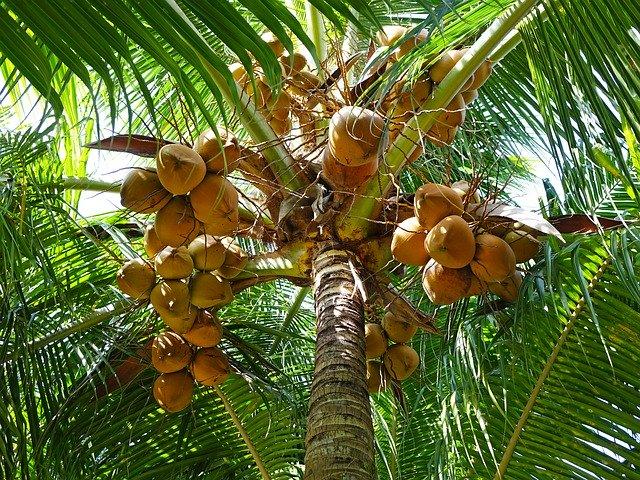 kokosové palmy dávají lahodné ovoce